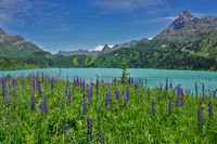 lupin at the Kops reservoir in Montafon, Austria, Europe