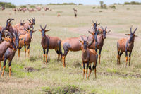 The flock of Tsessebe antelopes