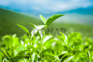 Tea leaves at plantation. India Munnar, Kerala