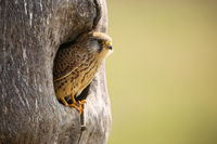 Common kestrel sitting in nest in springtime nature