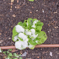 One lettuce plant under snow covered at raised bed garden near Dallas, Texas, USA