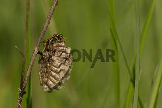 Haus-Feldwespe (Polistes dominula)