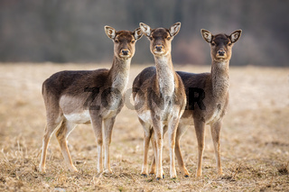 Three fallow deer hinds on a meadow looking attentively