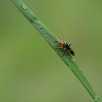 Close-up of a soldier beetle (Cantharidae) on a blade of grass
