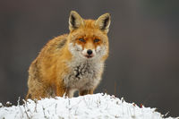 Dangerous red fox standing on meadow in winter nature.