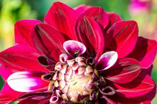 Dekorative Dahlien Tomo in voller, schöner Blüte