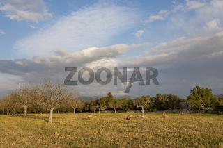 Schafe auf einer Wiese im Abendlicht, Mallorca