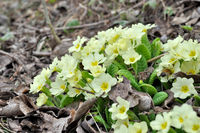 first primroses in spring with bee