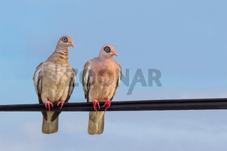 Pair of bare-eyed pigeons  sitting on a wire