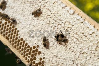 Bienen Honigwabe mit verdeckelten Honigzellen