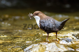 Small white-throated dipper standing in flowing water.