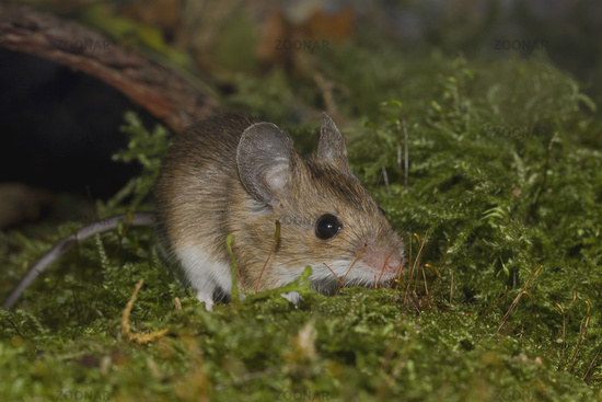 European wood mouse    Apodemus sylvaticus