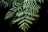 Fern, Dryopteris filix-mas