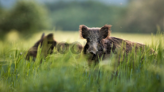 Wild boars feeding on green grain field in summer.