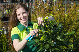 Gardener cutting branches of a tree at nursery