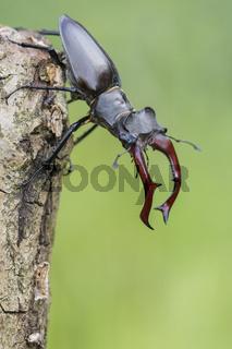 Maennlicher Hirschkaefer, Lucanus cervus, Male Stag beetle