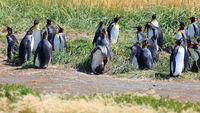 King Penguin Colony on Tierra del Fuego