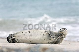 Seehund auf einem Sandstrand