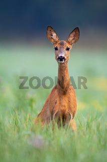 Alert roe deer doe looking into camera on a green meadow in summer