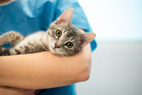Female veterinarian doctor is holding a cat on her hands