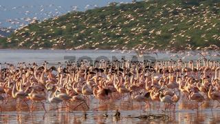 pink flamingos taking flight at lake bogoria, kenya