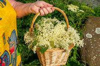 Woman holding a basket with freshly harvested elderberry blossoms in her hand to make elderberry flower syrup, jelly and elderberry flower liqueur