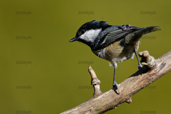 Coal tit on a branch