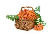ripe rowan berries in a wicker basket on a white background