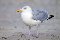 European Herring Gull adult bird on the North Sea coast