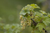 Currant flower