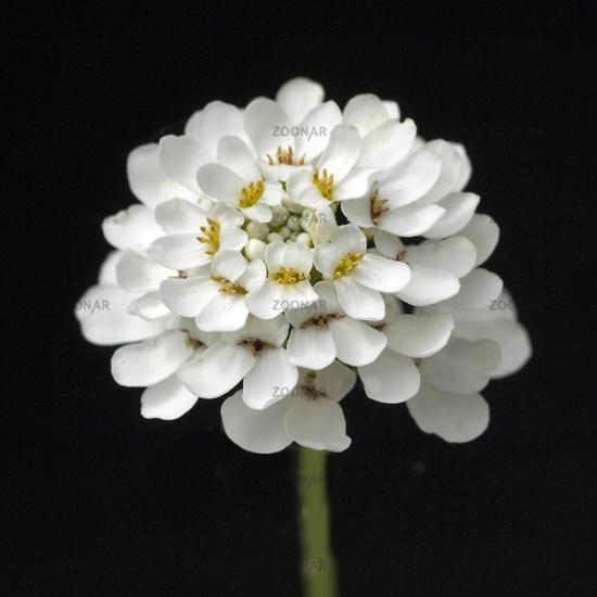 Candytuft, genus Iberis