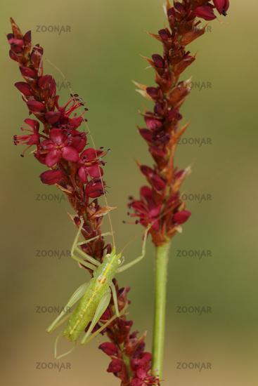 Southern Oak Bush-cricket (Meconema meridionale)