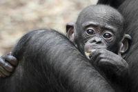 Bonobo Tikala