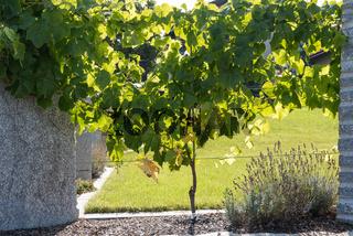 Weinrebe als lebender Zaun und Sichtschutz - Weinstock