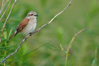Red-backed shrike (female) at Lake Neusiedl