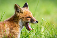 Young red fox yawning on grass in summer in close up