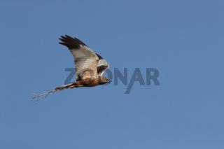 western marsh harrier (Circus aeruginosus) Germany