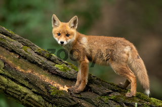 Baby red fox standing on wood in summertime nature