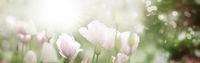 Tulpen mit vielen Pastell-Farbtönen in hellem Sonnenlicht, Banner