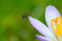 Fly at a purple crocus flower blossom