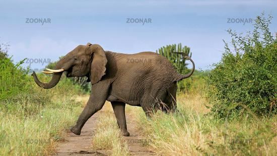 Elephant at Queen Elizabeth National Park, Uganda (Loxodonta africana)
