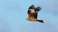 Majestic red kite flying in the clear sky from side
