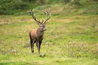 Majestic red deer walking on field in autumn nature.