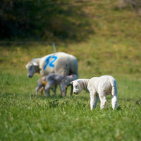 Young newborn lamb on a meadow in spring