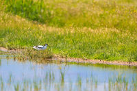 pied avocet bird in nature