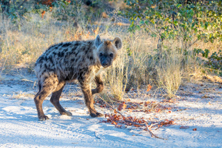 cute young Spotted hyena, Botswana Africa wildlife