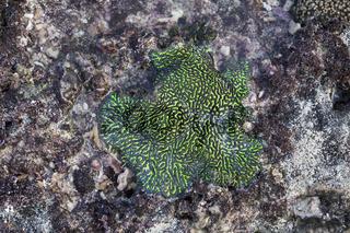 green coral on purple stones, Nusa Lembongan, Bali, Indonesia