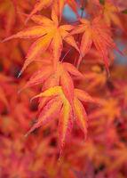 Topic autumn, colourful leafs