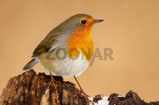 European robin sitting on trunk in winter nature.