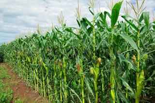 Corn (maize) field